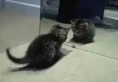 Adorable Kitten Plays with Mirror Image