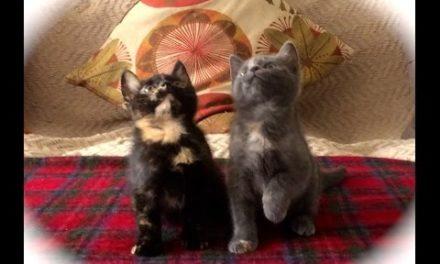 Kitten Jam – Turn Down For What Funny Kitty Video