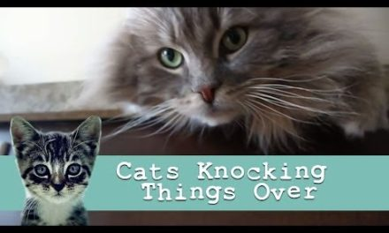 Funny Cat Videos: Kitties Knocking Stuff Over [Funny Cats]